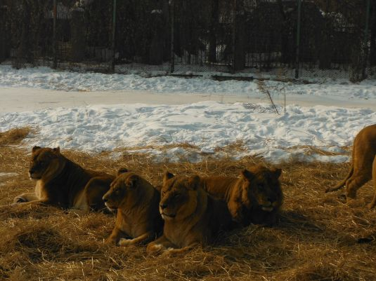 Lions hanging